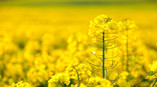 Golden-Rapeseed-Flowers