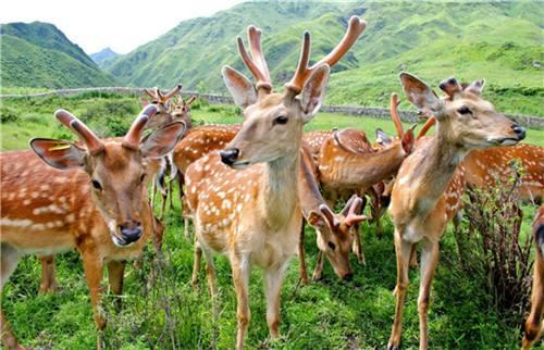 get-a-close-contact-with-sika-deer-in-yanglu-mountain-3