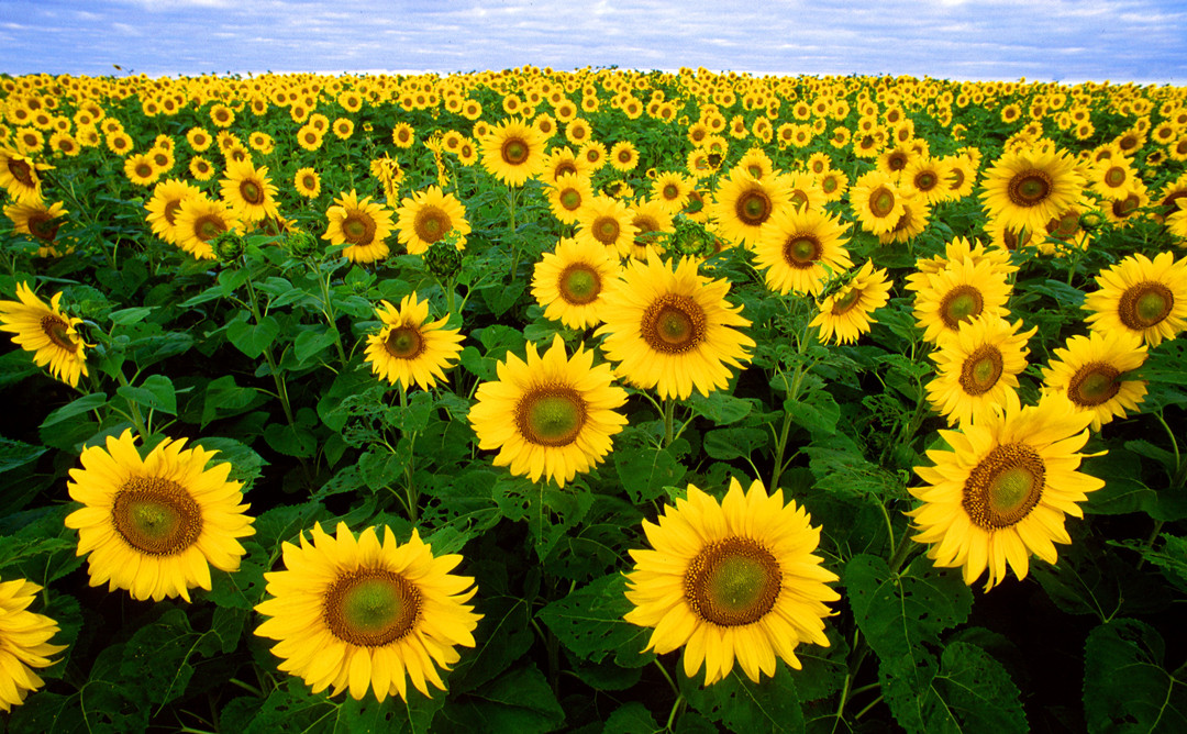 sunflowers-august-is-suitable-for-chasing-sunlight-1