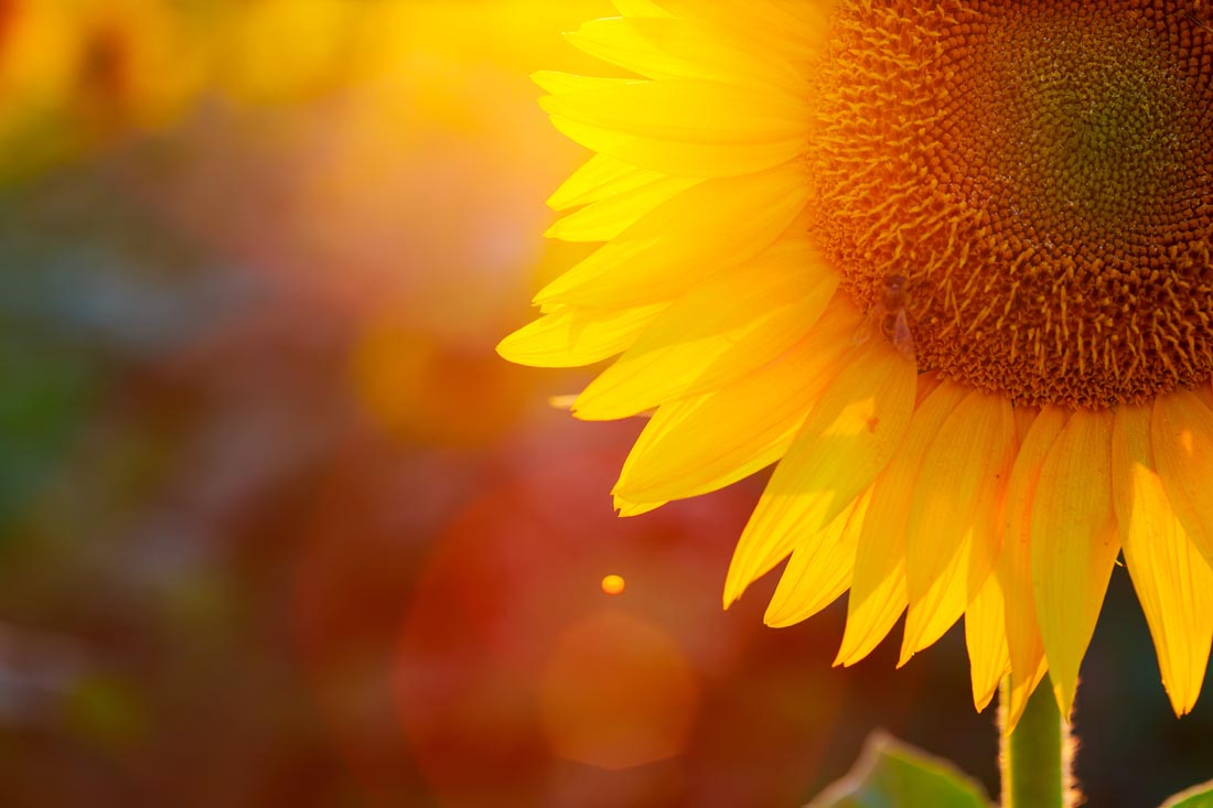 sunflowers-august-is-suitable-for-chasing-sunlight-2