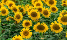the-best-places-for-sunflowers-sightseeing