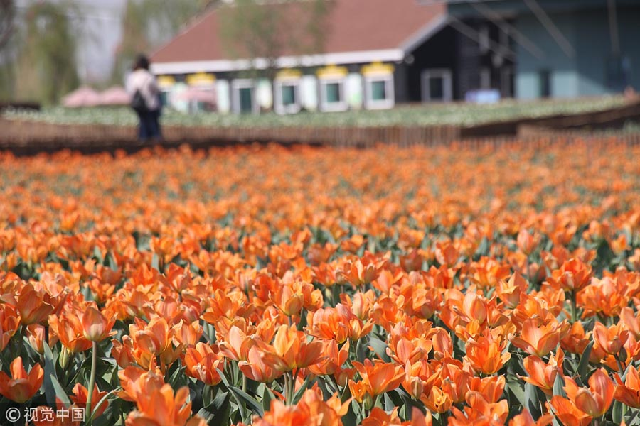 Colorful-Tulips-Blossom-At-Shandong-Park-1