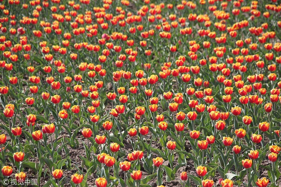 Colorful-Tulips-Blossom-At-Shandong-Park-2