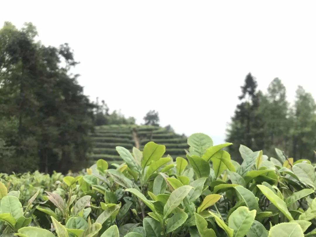Smell-the-Elegance-of-Tea-In-Yongchuan-District-5