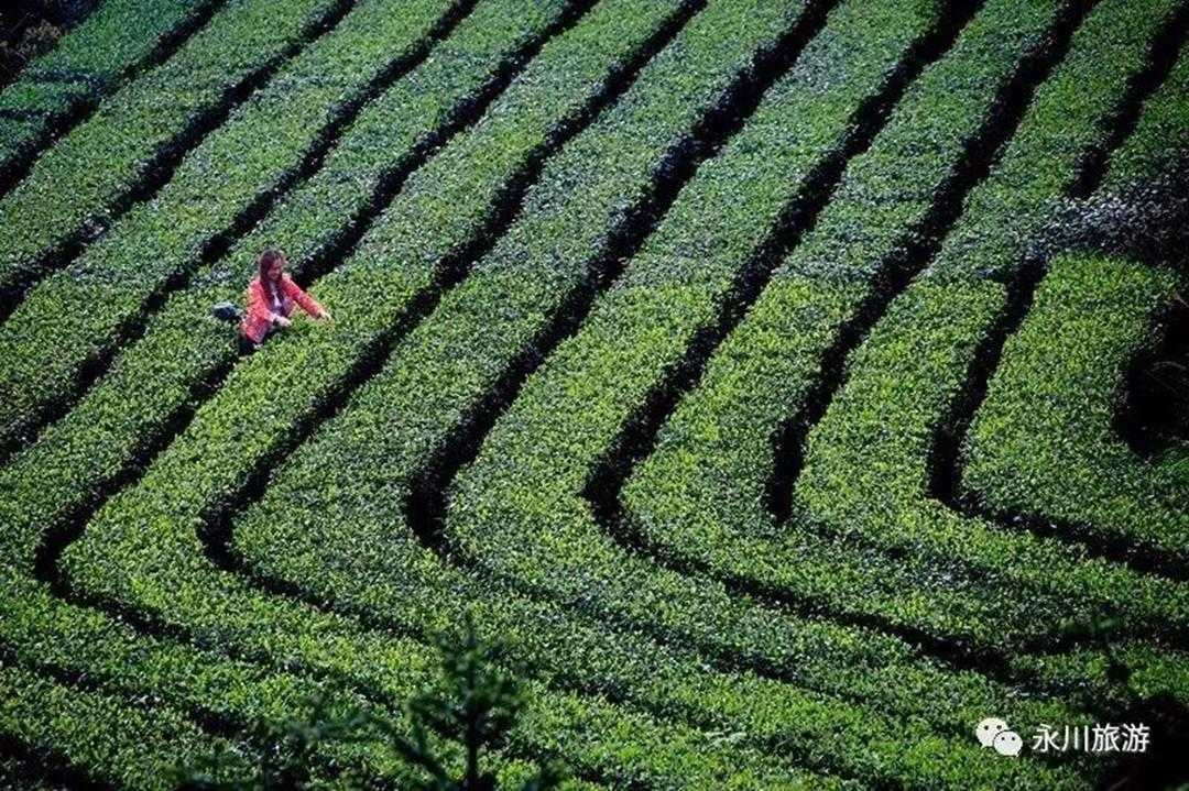 Smell-the-Elegance-of-Tea-In-Yongchuan-District-7